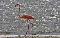 Greater Flamingo (phoenicoterus rubber) royalty free stock images