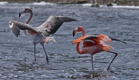 Greater Flamingo (phoenicoterus rubber) Royalty Free Stock Image