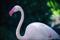 Greater Flamingo stock images
