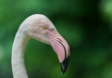 Greater Flamingo portrait Stock Photo