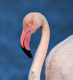 Greater flamingo portrait. In Camargue, France Stock Image