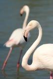 Greater Flamingo Stock Photos