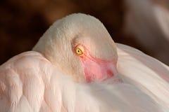 Greater flamingo portrait Royalty Free Stock Photos