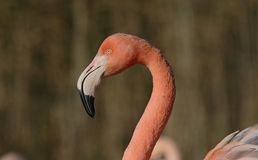 Greater Flamingo. Portrait at Slimbridge Wildfowl and Wetlands Trust stock photo