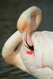 Greater flamingo portrait. Portrait of a greater flamingo in vertical, in Camargue Stock Images