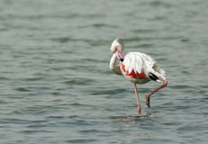 Greater Flamingo preening Stock Image