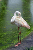 Greater flamingo Stock Photos