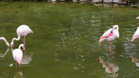 Greater Flamingo. Range: Europe, Asia, Africa, Madagascar stock footage
