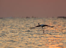 Greater Flamingo ready to fly Stock Image