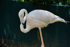 Greater flamingo. On relaxing mood Royalty Free Stock Image