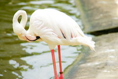 Greater flamingo. On relaxing mood near his habitat pool Royalty Free Stock Photos