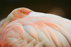 Greater Flamingo. A flamingo resting in Camargue, France Royalty Free Stock Photo