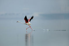 Greater Flamingo running Stock Images