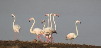 Greater flamingo`s Stock Images
