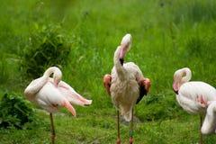 Greater flamingo's (Phoenicopterus roseus) Royalty Free Stock Images