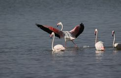 Greater flamingo`s. Some greater flamingo`s bird is sitting in the water. one bird spreads wings in the water of river standing and ready to fly Royalty Free Stock Photos