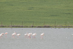 Greater Flamingo series 01 Stock Photography