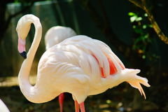 Greater flamingo. Shadow of sun shines on the greater flamingo Stock Photo