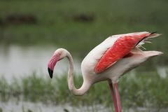 Greater Flamingo Wings closed at Gujarat stock images