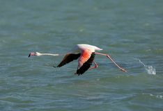 Greater Flamingo streching and bending down to fly, Bahrain. Flamingos are beautiful and gregarious wading birds Stock Images
