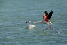 Greater Flamingo streching and raising its wings to fly, Bahrain. Flamingos are beautiful and gregarious wading birds Stock Photography