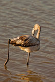 Greater Flamingo stretching it´s leg Stock Photography