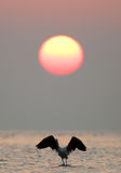 Greater Flamingo during sunrise Royalty Free Stock Images