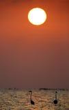 Greater Flamingo during sunrise Royalty Free Stock Image