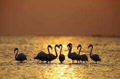 Greater Flamingo during sunrise Royalty Free Stock Photo