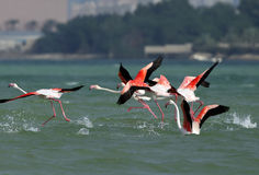 Greater Flamingo take off Royalty Free Stock Images