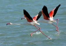 Greater Flamingo takeoff Royalty Free Stock Photo