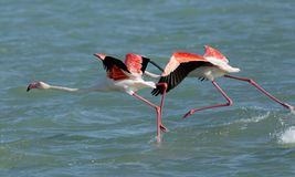 Greater Flamingo takeoff Royalty Free Stock Photography