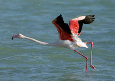 Greater Flamingo takeoff Royalty Free Stock Images