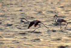 Greater Flamingo takeoff during sunrise Royalty Free Stock Images