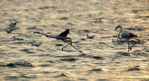 Greater Flamingo takeoff during sunrise Stock Photos