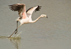 Greater Flamingo taking off. A Greater Flamingo (Phoenicopterus roseus) beats his wings vigorously to reach enough speed for take off, Delta del Ebre nature park Stock Images