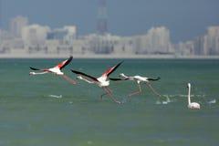Free Greater Flamingo Taking Off Stock Photos - 74930913