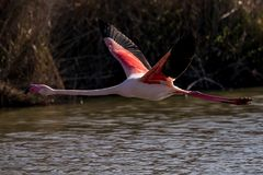 A greater flamingo taking off. Above the water surface stock photos