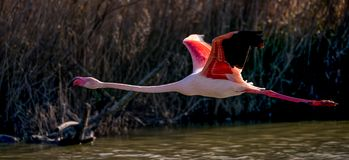 A greater flamingo taking off. Above the water surface royalty free stock images