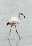 Greater Flamingo walking away Royalty Free Stock Images
