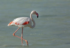 Greater Flamingo walking Stock Image