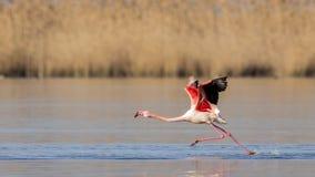 Greater Flamingo Walking on Sea Royalty Free Stock Photos