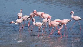 Greater flamingo at Walvis Bay in Namibia. Most of the greater flamingo`s plumage is pinkish white, but the wing coverts are red and the primary and secondary stock photos