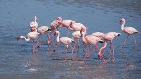 Greater flamingo at Walvis Bay in Namibia Stock Photos