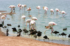 Greater Flamingo in water Stock Photos