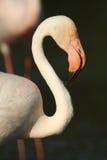 The greater flamingo (Phoenicopterus roseus) closeup Stock Image