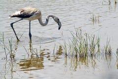 Greater Flamingo. Young specimen of common flamingo (Phoenicopterus roseus) in a marsh Delta del Llobregat, Barcelona Royalty Free Stock Photos