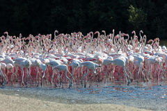 Greater Flamingoes in Dubai Stock Image