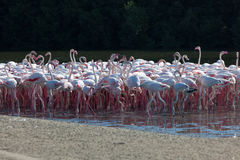 Greater Flamingoes in Dubai Royalty Free Stock Photography
