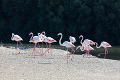 Greater Flamingoes in Dubai Stock Images